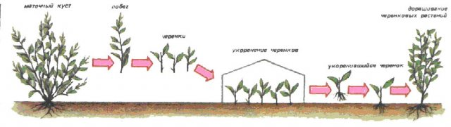 Размножение кизильника черенками