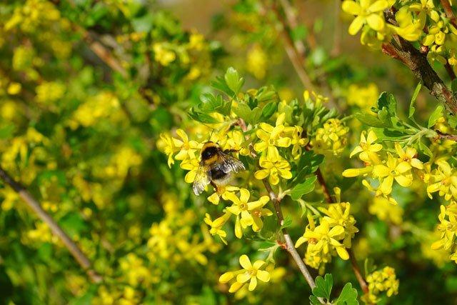 Цветы золотистой смородины