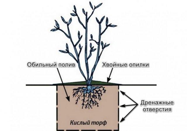 Особенности выращивания голубики