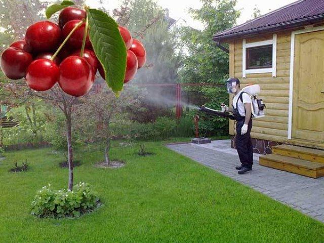 Обработка вишни инсектицидами