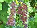 Сохнут кисти винограда