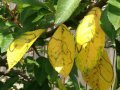 Желтеют листья у вишни