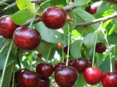 Гибрид вишни и черешни