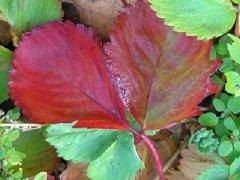 Красные листья у клубники