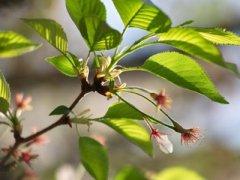 Не плодоносит вишня