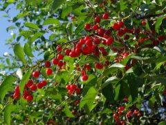 Дерево вишни с ягодами