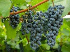 Гроздь Амурского винограда