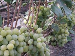 Виноград Талисман