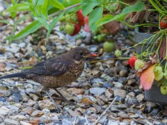Птицы - садовые вредители