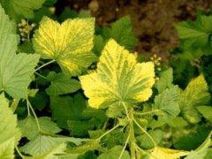 Пожелтение листьев смородины