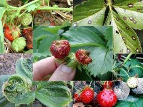 Болезни садовой земляники