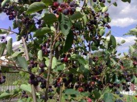 Кусты ирги с ягодами