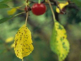 Коккомикоз на вишне