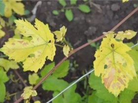 Желтые листья у винограда