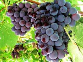 Виноград Лидия