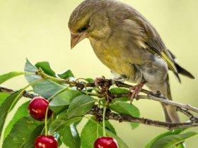 Птица на плодовом дереве