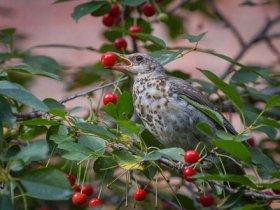 Птица на вишне