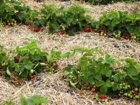 Посадки садовой земляники